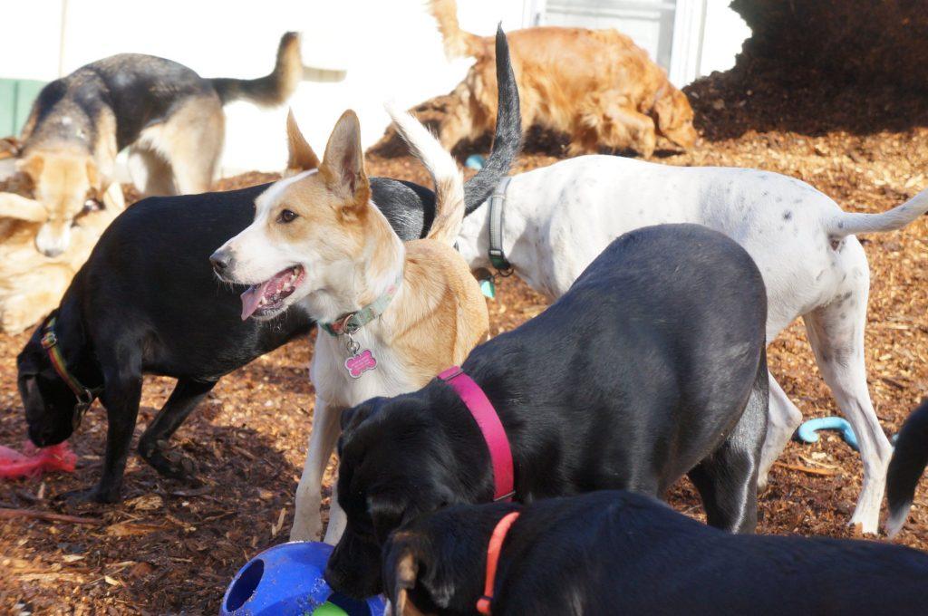 dog daycare pups