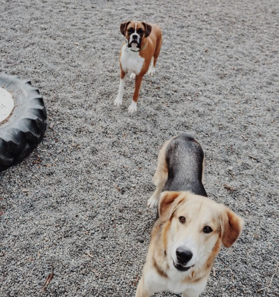 dogs_at_play